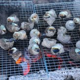 BMSサマーキャンプ2015-サザエ焼いて食べた